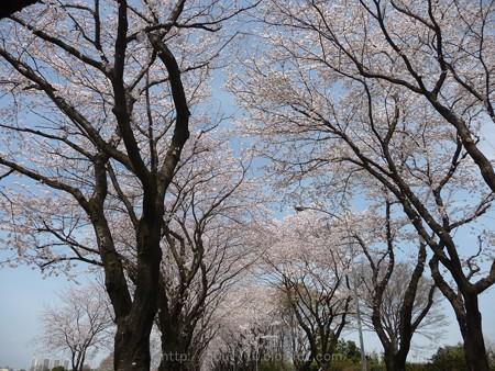 140401-桜 海軍道路 (20)