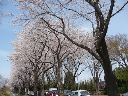 140401-桜 海軍道路 (23)
