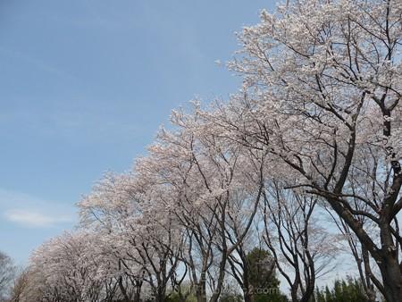 140401-桜 海軍道路 (26)