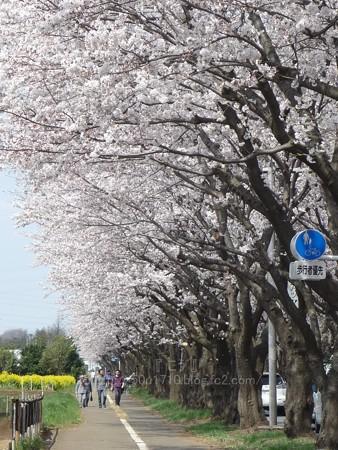 140401-桜 海軍道路 (61)