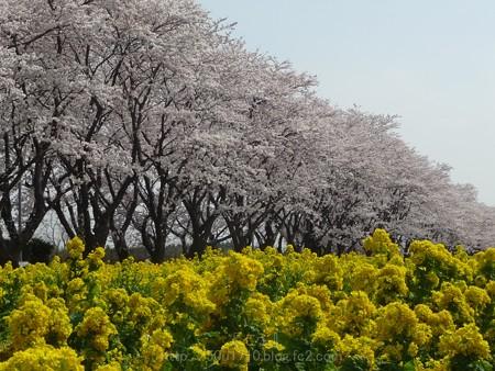 140401-桜 海軍道路 (86)