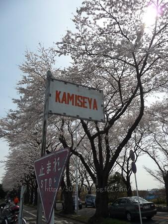 140401-桜 海軍道路 (119)