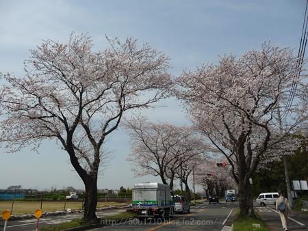 140401-桜 海軍道路 (126)