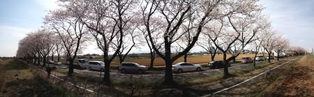 140401-桜 海軍道路 パノラマ (2)