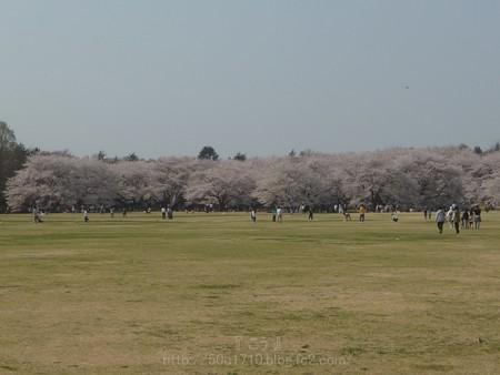 140408-昭和記念公園 (15)