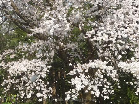 140408-昭和記念公園 (57)