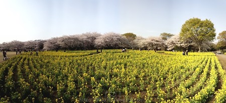140408-昭和記念公園 パノラマ (5)