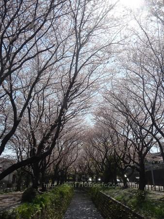 140407-千本桜 (5)