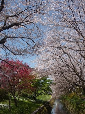 140407-千本桜 (6)