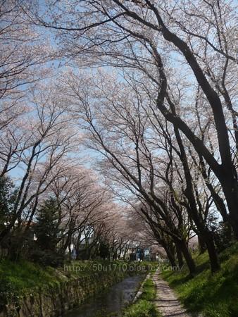 140407-千本桜 (19)