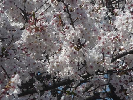 140407-千本桜 (35)