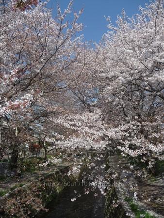 140407-千本桜 (43)