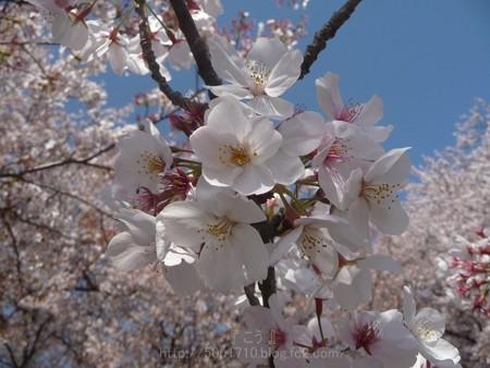 140407-千本桜 (45)