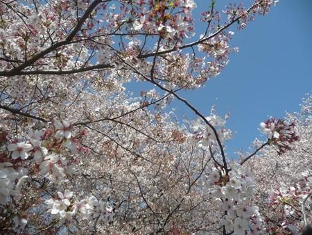140407-千本桜 (46)
