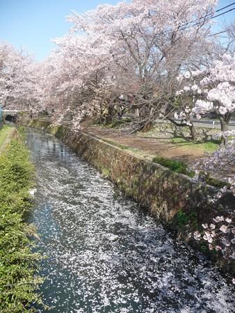 140407-千本桜 (59)