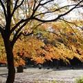 Photos: 公園のモミジも綺麗