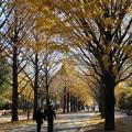 銀杏並木の黄葉 少し遅かった