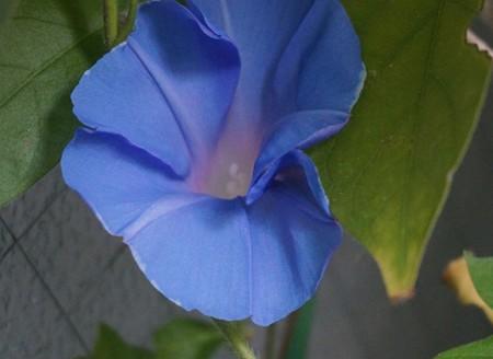 20130917朝顔の花写真 (7)