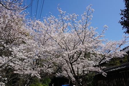 【さくら満開 写真】西公園 桜 福岡 2014年3月28日撮影 (30)