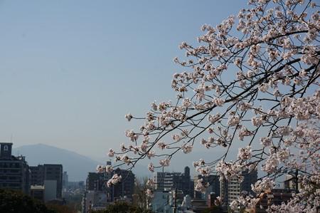 【さくら満開 写真】西公園 桜 福岡 2014年3月28日撮影 (45)