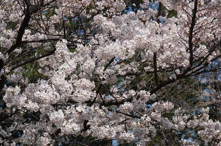 【さくら満開 写真】西公園 桜 福岡 2014年3月28日撮影 (57)