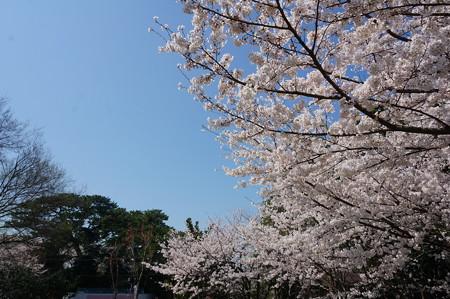 【さくら満開 写真】西公園 桜 福岡 2014年3月28日撮影 (61)