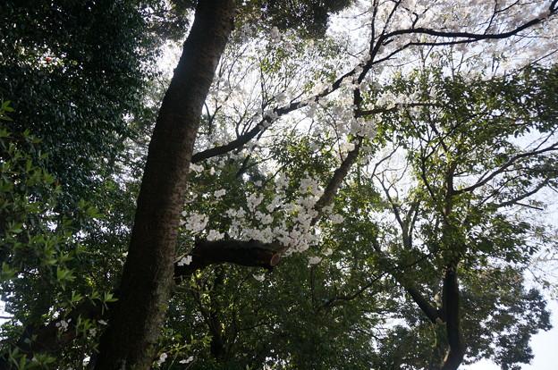 【さくら満開 写真】西公園 桜 福岡 2014年3月28日撮影 (81)