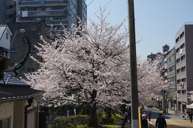 【さくら満開 写真】西公園 桜 福岡 2014年3月28日撮影 (83)
