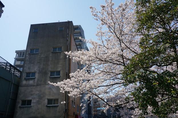 【さくら満開 写真】西公園 桜 福岡 2014年3月28日撮影 (84)