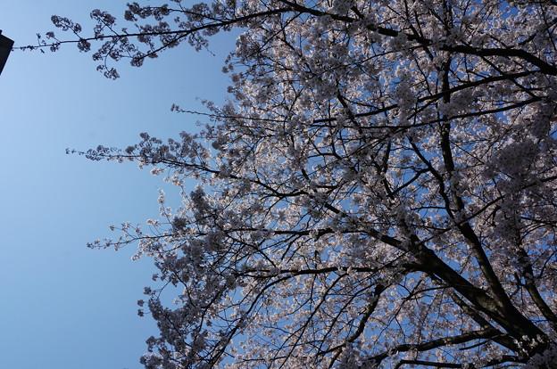 【さくら満開 写真】西公園 桜 福岡 2014年3月28日撮影 (86)