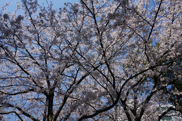 【さくら満開 写真】西公園 桜 福岡 2014年3月28日撮影 (87)