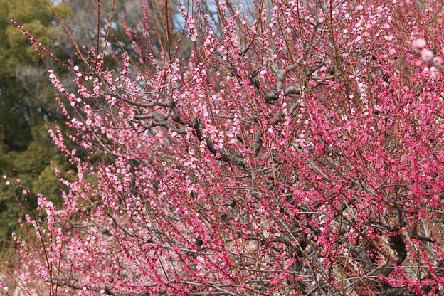 大阪城公園 梅の花