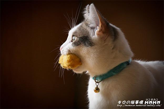 獲物をくわえる猫 - マンチカンももちゃん猫写真