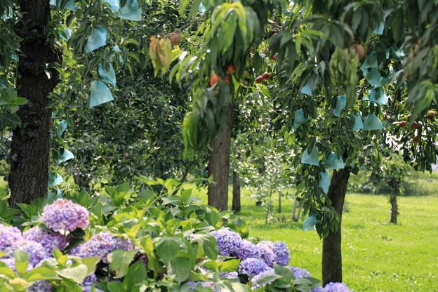 りんご園と紫陽花01-12.07.28