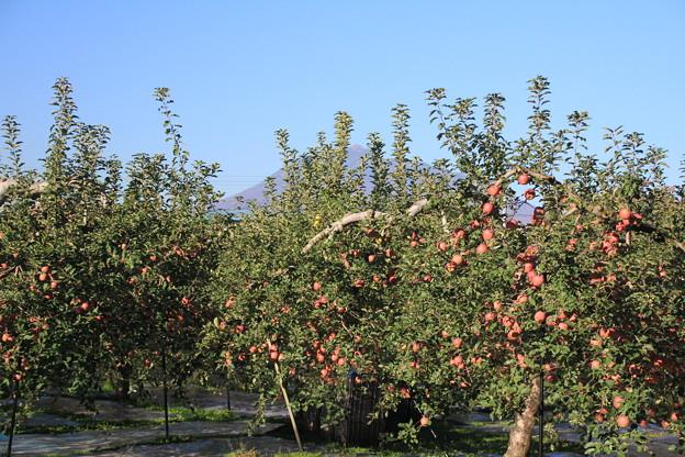 りんご園と岩木山01-12.27