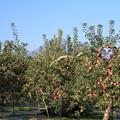 Photos: りんご園と岩木山01-12.27