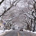 風雪の痕跡・桜並木02-12.11.27