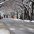 風雪の痕跡・桜並木03-12.11.27