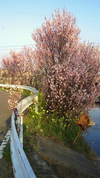 小野川の桜2013.3.12その1
