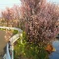 Photos: 小野川の桜2013.3.12その1