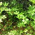 Photos: ジャングル地帯のモミジイチゴ