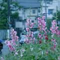 Photos: タチアオイ in the rain