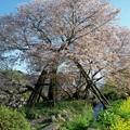 写真: 狩宿の下馬桜(2)