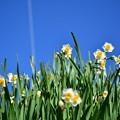 Photos: 水仙の花
