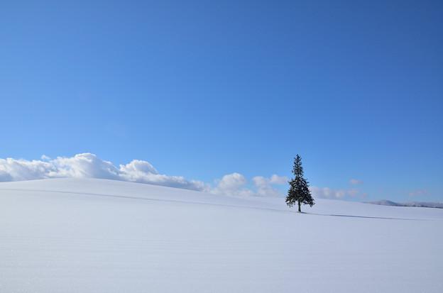 写真: 美瑛市クリスマスツリーの木2