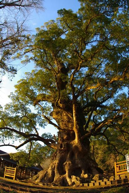 日本一の大楠(樹齢1500年)