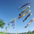 写真: 鯉のぼりと奥には桜島