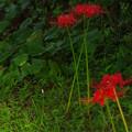 写真: 凜と赤く