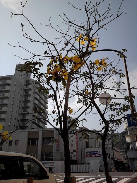 神戸のイペーの花