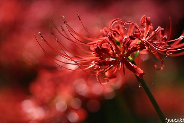 燃える赤い花2